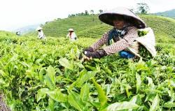 6-foto KAKI ADV kebun teh gunug gambir
